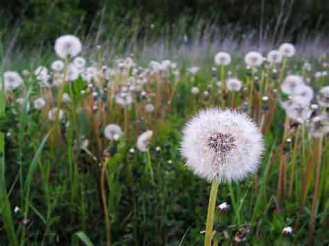 how to kill dandelions