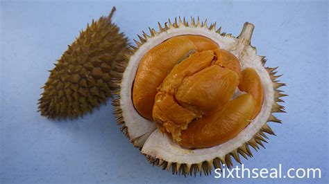 Bibit Tanaman Buah Durian Duri Hitam Ochee Up To 70 Cm black ochee duri hitam durian sixthseal