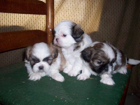shih tzu puppies for adoption in florida shih tzu puppies for adoption ohio breeds picture