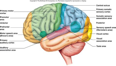 primary motor cortex function and location motor systems at of northern colorado studyblue