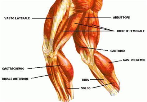 muscoli coscia interna nordic harmstring esercizi per gli ischio crurali
