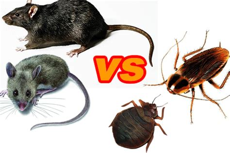 why do bed bugs come out at night pests of the new year part two roaches and rodents buzz kill pest control
