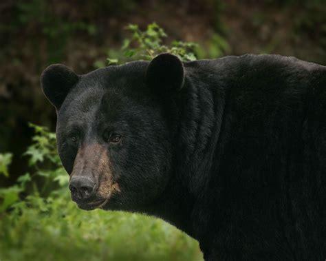 big black bear file big black bear detailed ursus americanus jpg
