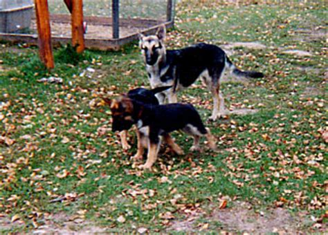 rottweiler puppies for sale in minnesota rottweiler for sale minnesota photo