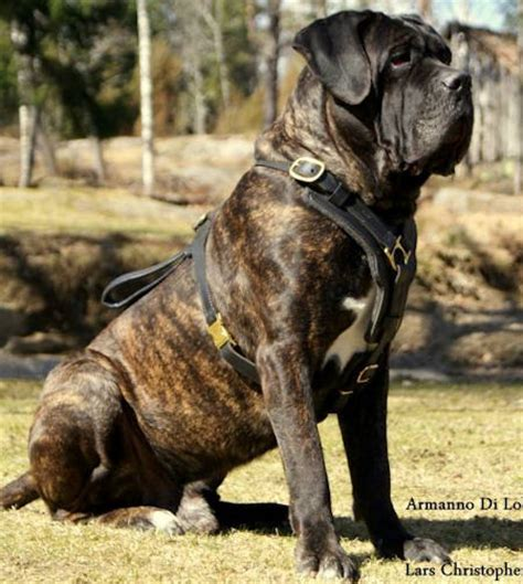 large breed harness order here designer padded leather harness for mastiff