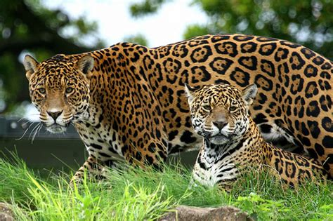 mexican jaguars the jungle store animals to mexico