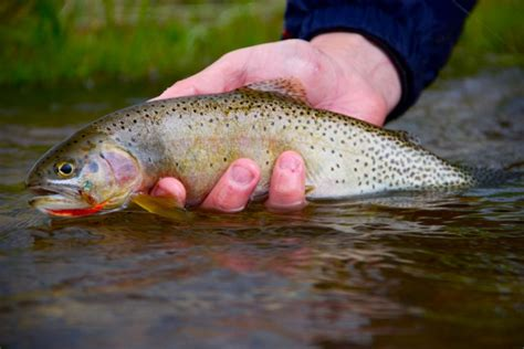 my ate me out in my sleep montana fly fishing eat sleep fish