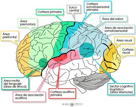 imagenes visuales para el cerebro estudio de la estructura del cerebro humano in vivo