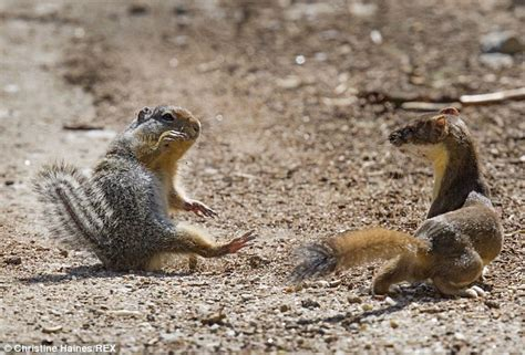Car Wired Frog Eye View squirrel fights for its after vicious weasel launches