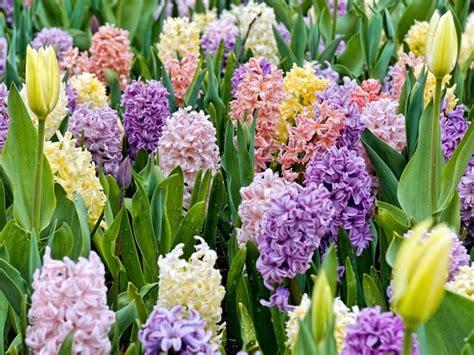 piantare bulbi tulipani in vaso i bulbi bulbi coltivare bulbi da fiore
