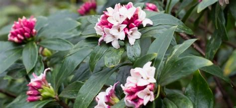 fragrant container plants fragrant plants for containers my garden
