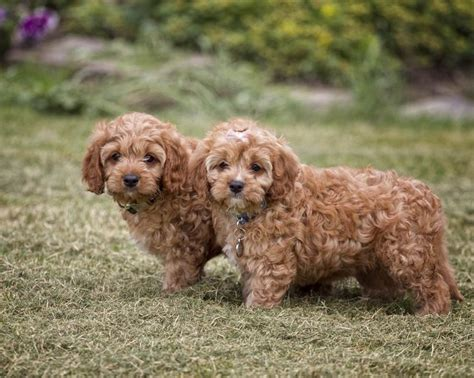 cavapoo puppies cavapoo puppies animals cavapoo puppies and puppys