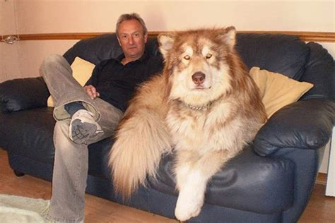 cocos grandes y peludos 24 adorables fotos de perros gigantes