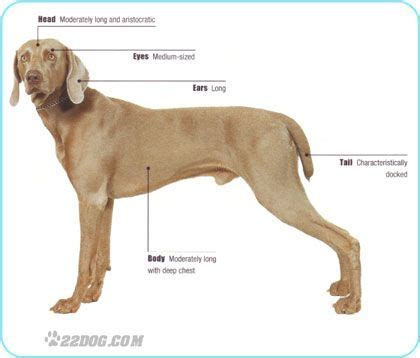 weimaraner colors pedigree points recognized akc ankc ckc fci kc gb