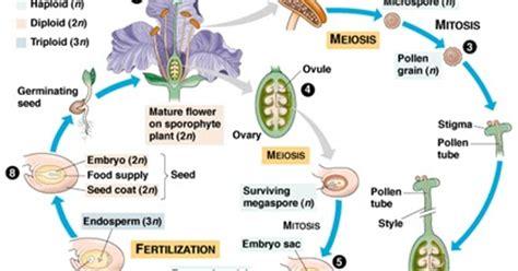fiore angiosperme plant angiosperm cycle