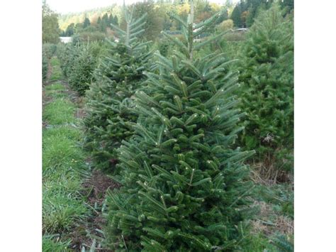 mcmurtrey s red wood christmas tree farm a local tradition