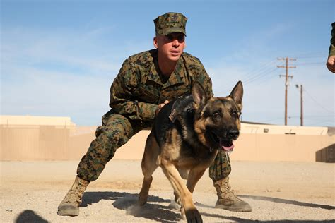 army handler all bark all bite gt marine corps air ground combat center twentynine palms gt news
