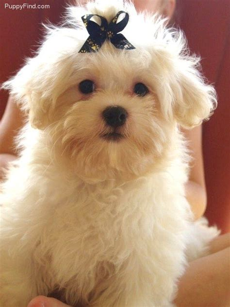 pictures images grooming styles female mal shi fe 5934 best maltese images on pinterest
