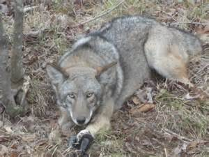 coyote color coyote color s pic trapper talk trapperman forums