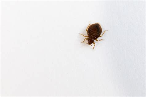 does cold weather kill bed bugs do bed bugs like heat or cold 28 images do bed bugs