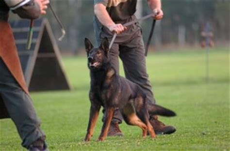 how to your to bite on command k9ers 187 a k9 to bite on command