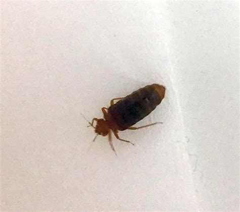 bed bug identification bed bug pest control canada