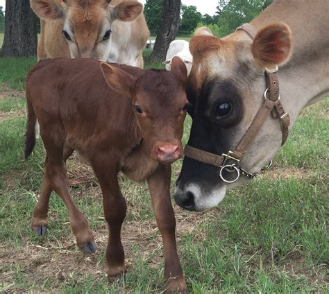 Craigslist Nj Farm And Garden by Cattle For Sale