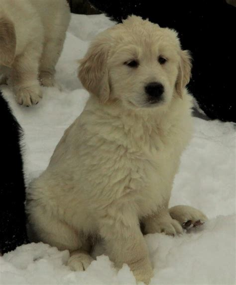 newfoundland golden retriever newfoundland x golden retriever puppies puppies for sale dogs for sale in ontario