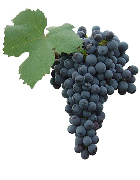 imagenes de uvas tintas plantas de uvas de vino tintas gt viveros barber