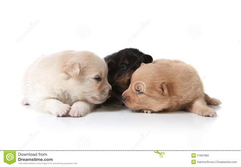 colored pomeranian puppies black and white colored pomeranian puppies stock photography image 11697802