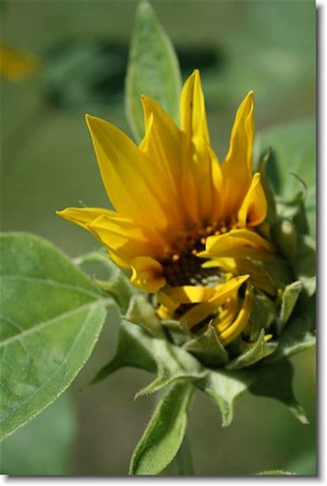 kostenlose blumenbilder blumenfotos sonnenblumen