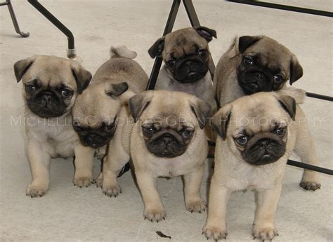 pug snore 6 pack of pug puppies fortune pooh bah s litter at flickr