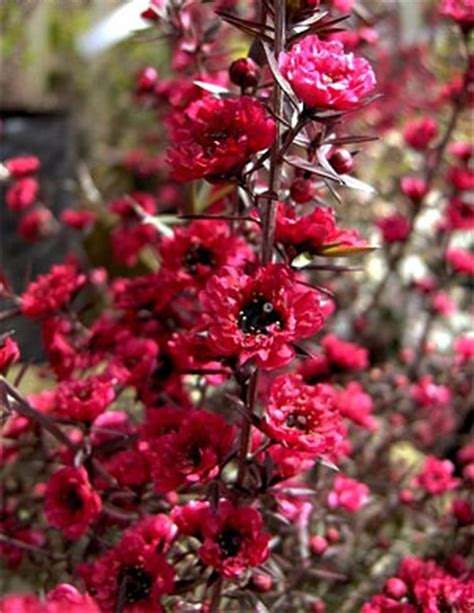 narrow flowering shrubs leptospermum scoparium ballerina dense evergreen shrub
