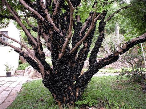 jabuticaba fruit tree jabuticabeira the tree that develops fruits on its trunk