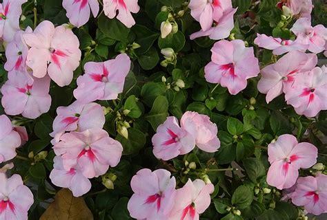 fiori di bach per attacchi di panico rimedi naturali immediati contro ansia attacchi di panico