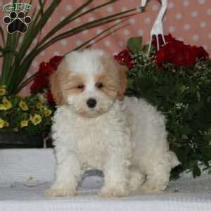 puppies for sale in nj 300 maltipoo puppies for sale in pa md ny nj greenfield puppies breeds picture