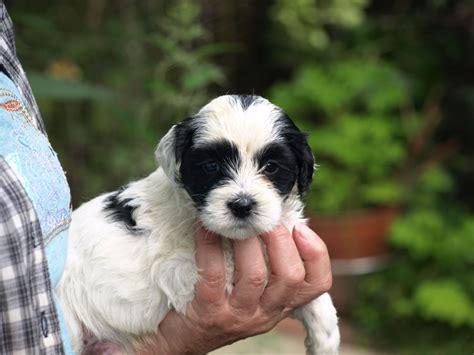 tibetan terrier puppies for sale tibetan terrier puppies for sale horsham west sussex pets4homes