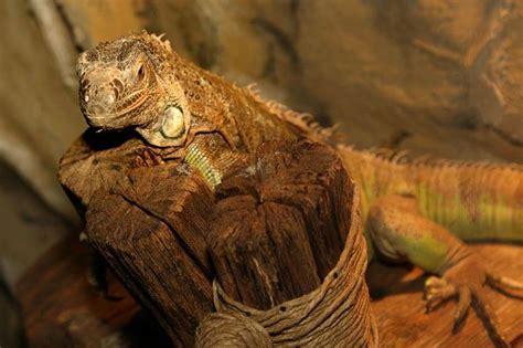 Iguana L l acquario terrario krk l iguana