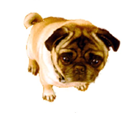 pug screen gif pug animated gif pictures best animations