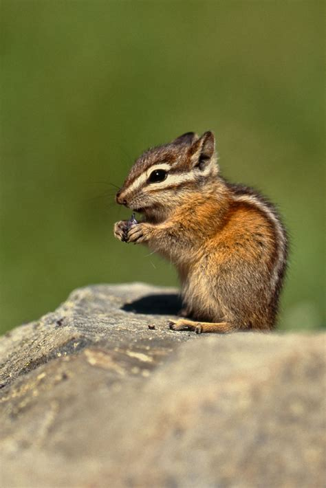 yellow pine chipmunk a huckleberry yellow pine