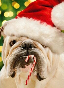 dressed dogs ready  christmas fallinpets
