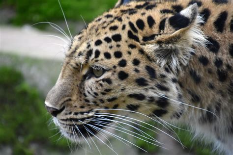 a z picture 6 of 13 leopard panthera pardus pictures