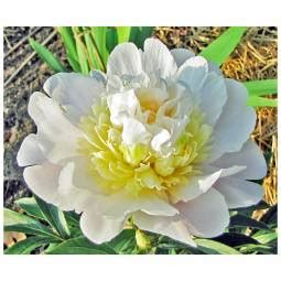 dr alexander fleming peony growers solution