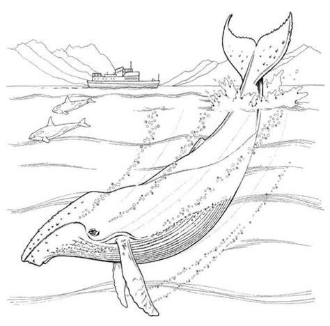coloring page humpback whale humpback whale coloring www pixshark images galleries with a bite