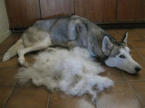 Is Shedding by Grooming Tip High Tails Cat Outfitters