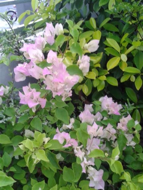 Bunga Yangterakhir Mekar qasih pokok berbunga hati gembira