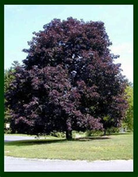 photo of norway maple crimson king with dark red purple