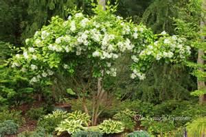 All Year Climbing Plants - the graceful gardener 187 fringe tree