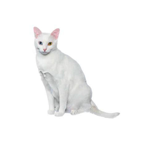 calmest breeds calm cat breeds calm cat breeds purina