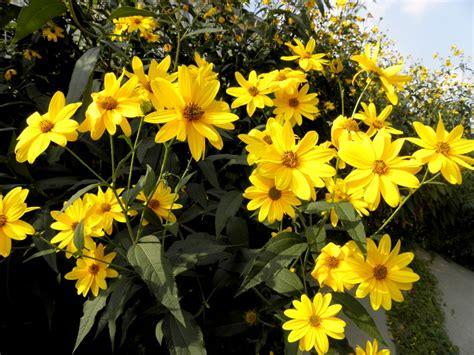 fiori topinambur valle brembana i fiori topinambur flora spontanea